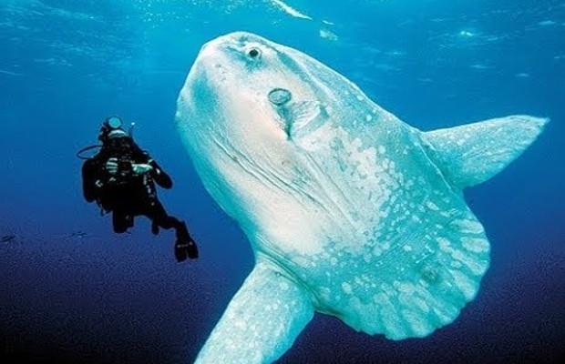 Giant Sun Fish