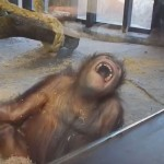 Hilarious Orangutan