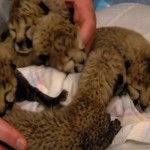 Cincinnati Zoo Shows Off Cheetah Cubs