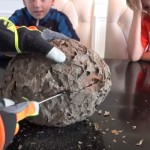 What's inside a wasp nest?
