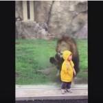 Lion Tries to Eat Toddler Through Glass