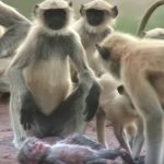 'Spy Monkey' Mistaken For Dead Baby And Mourned By Troop