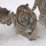 Chubby Siberian Tigers chase drone